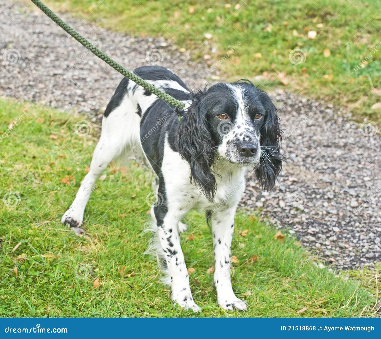 Spaniel dog on a lead.