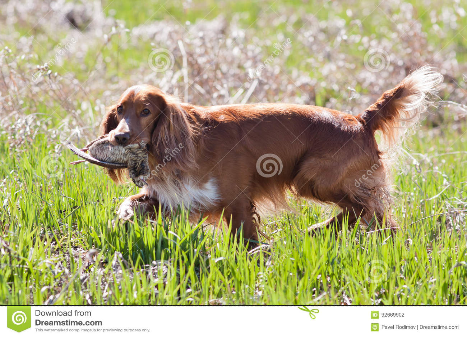 Spaniel för jakthund som rymmer en morkulla