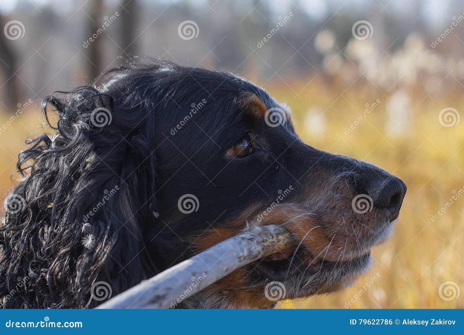 Spaniel manchado do russo com a vara nos dentes que estão no amarelo a