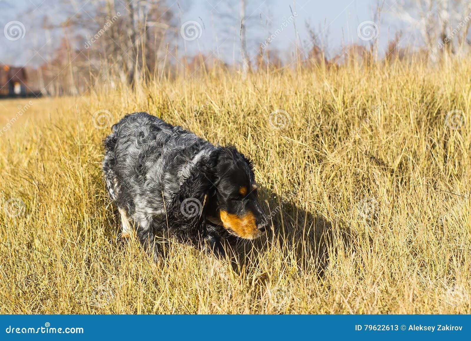 Spaniel manchado do russo que corre e que joga no gra amarelo do outono