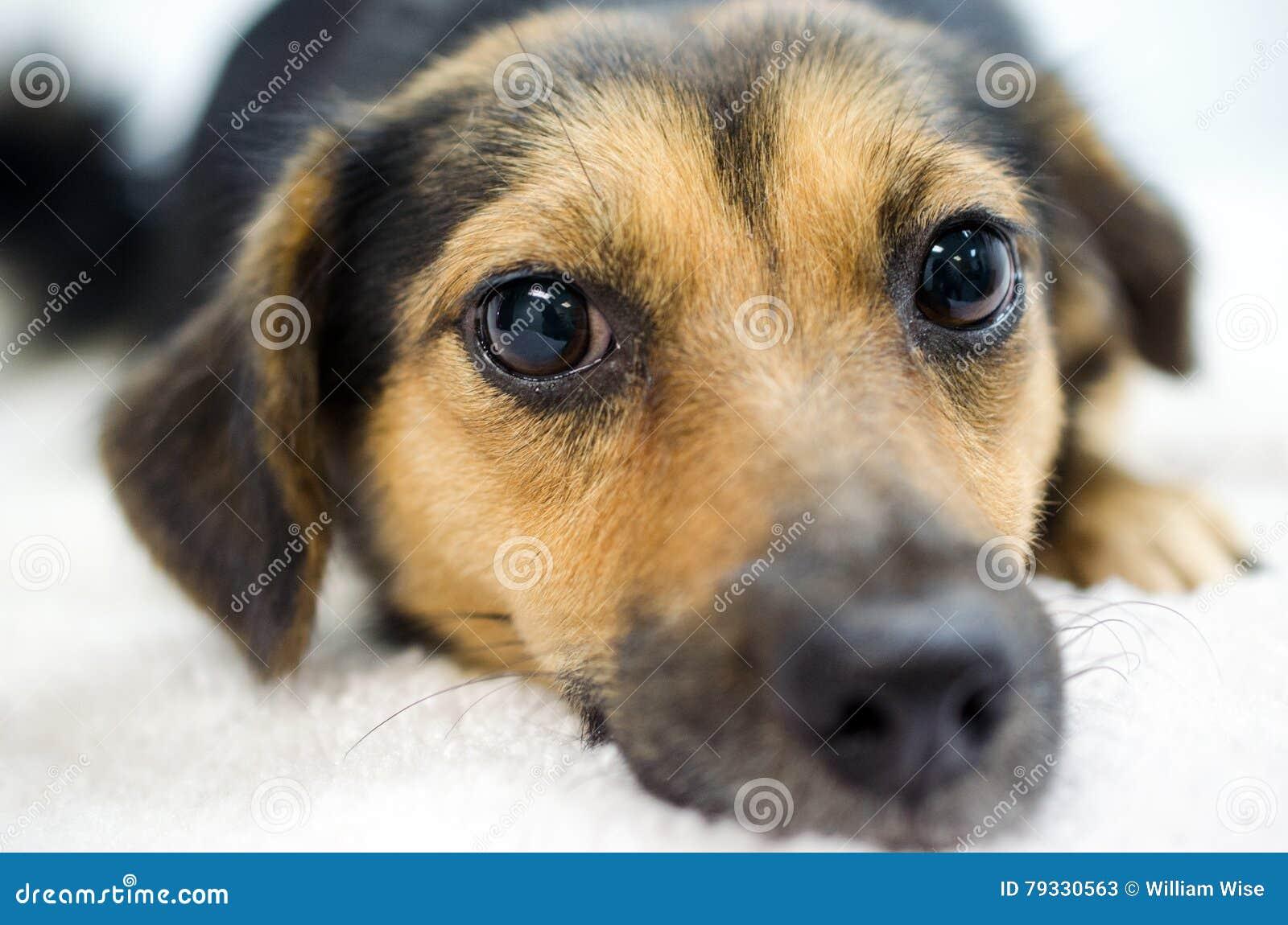 Spaniel Mutt Adoption Stock Image Image