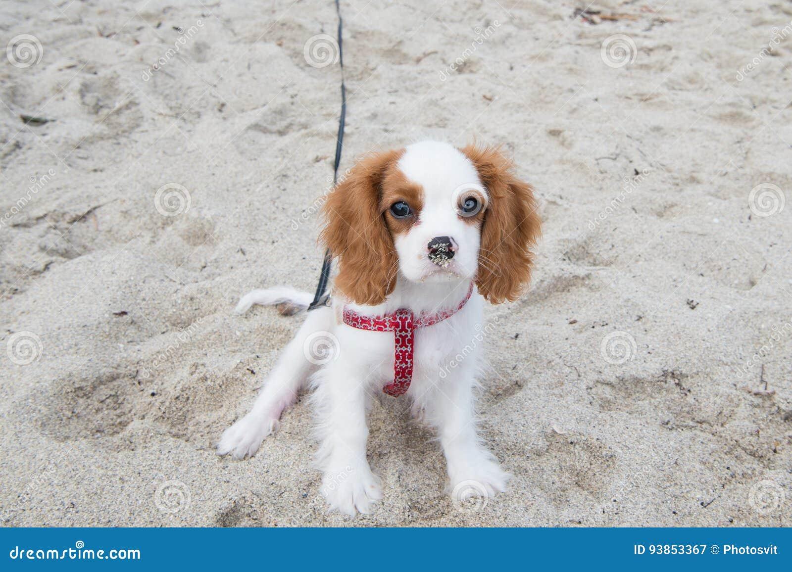 Spanielwelpe Hunde- oder Kavalierkönigs Charles