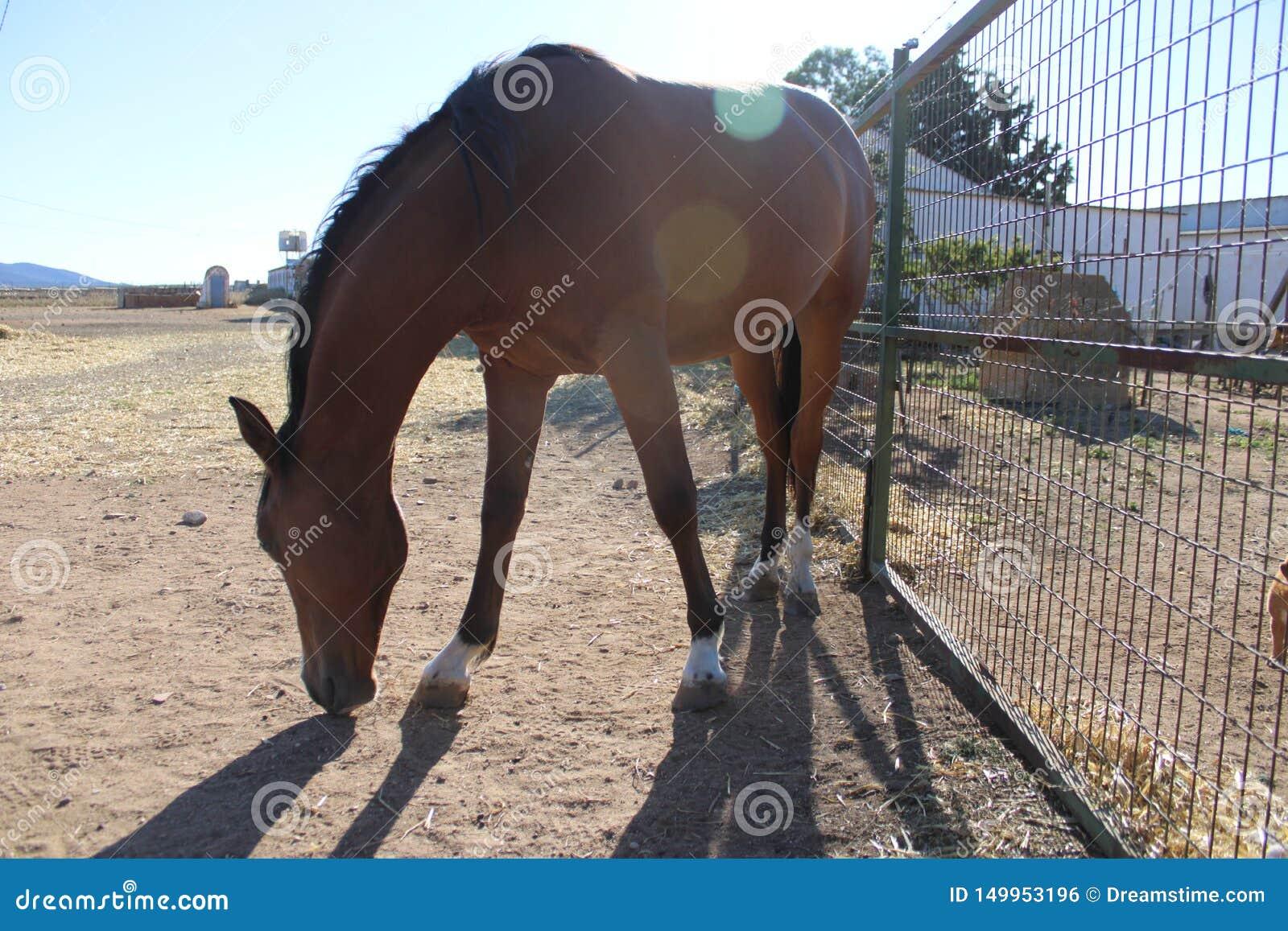 Spanien-Pferd, das mit der Reflexion der Sonne isst