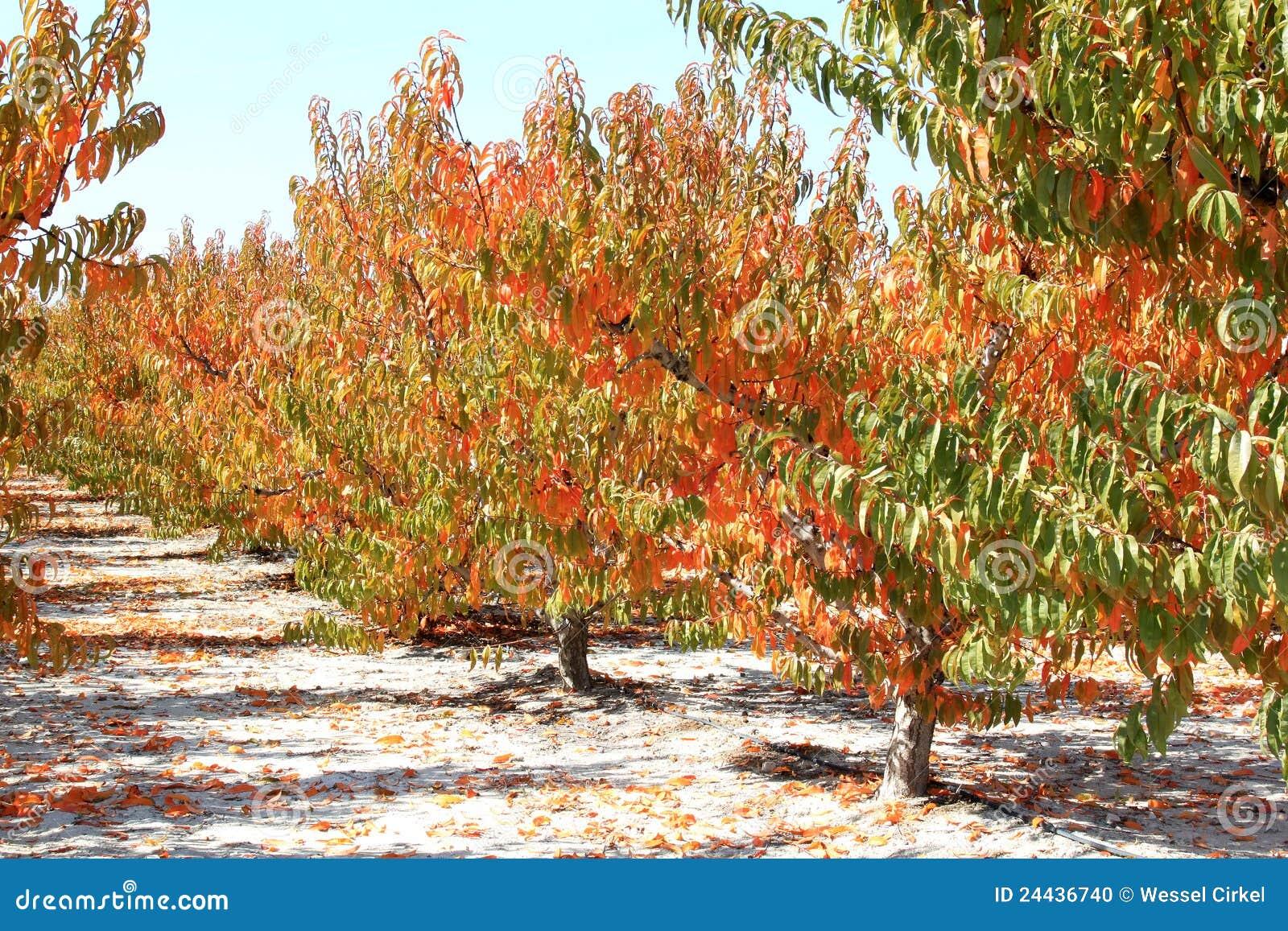 Spanischer Kirschobstgarten im Herbst, Murcia