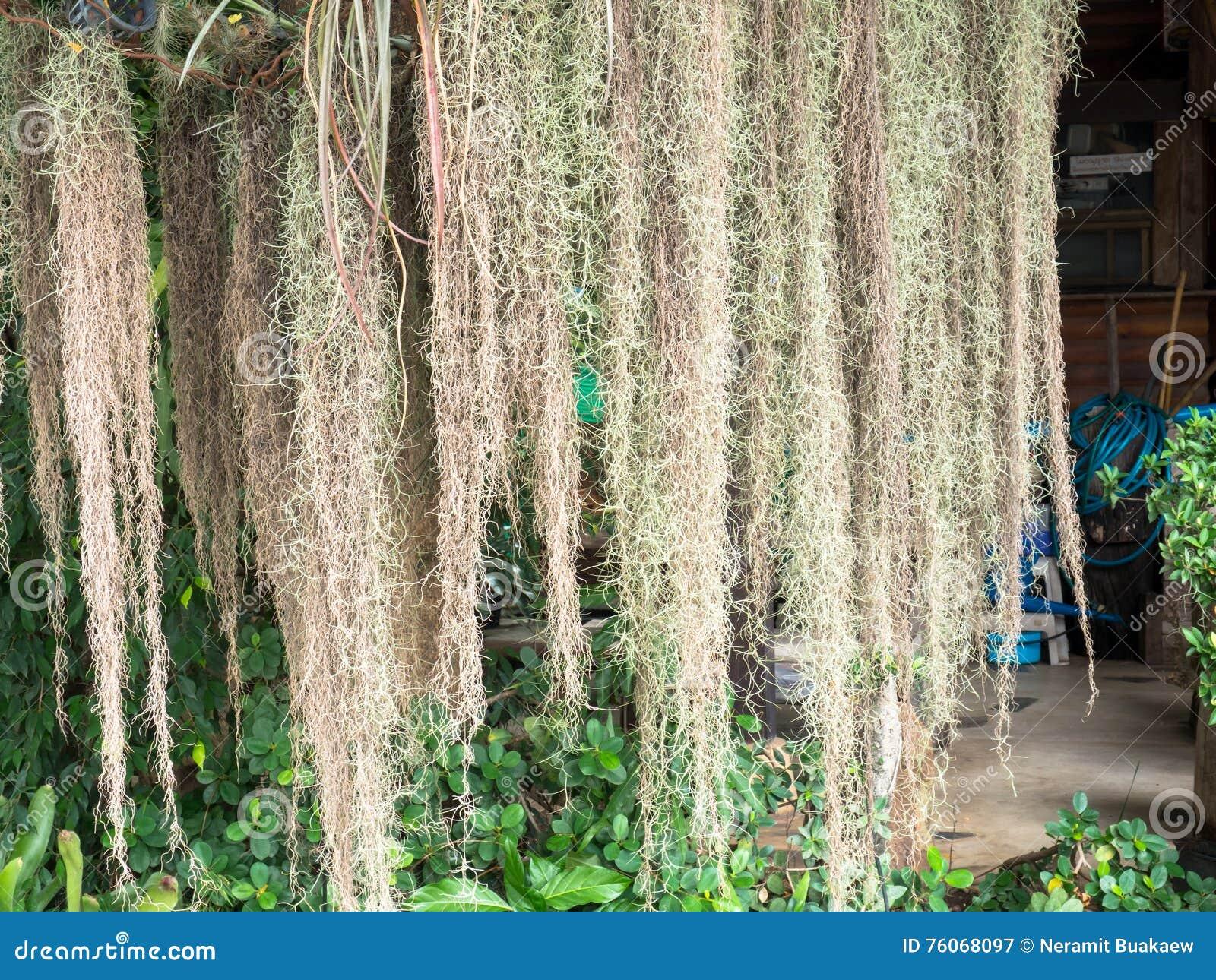 Spanisches Moos, Das Unten Vom Baum Hängt Stockbild - Bild von ...