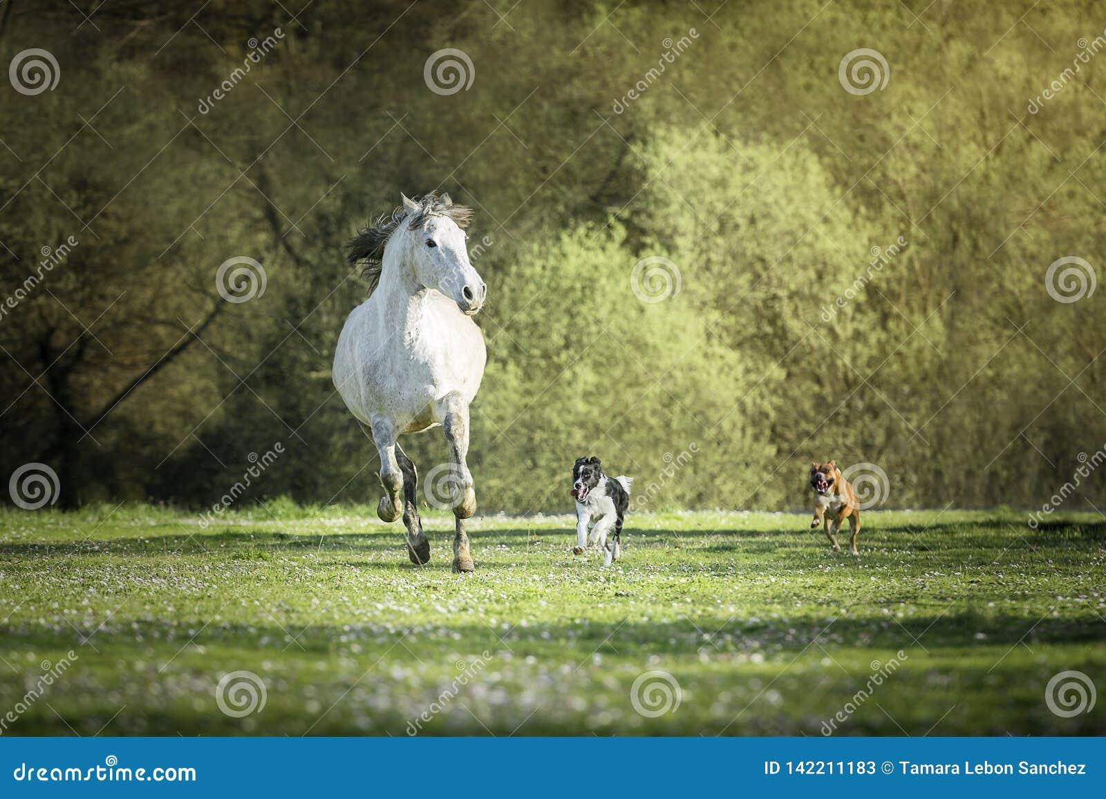 Spanisches Pferd, Border Collie- Und Boxerhunde, Die