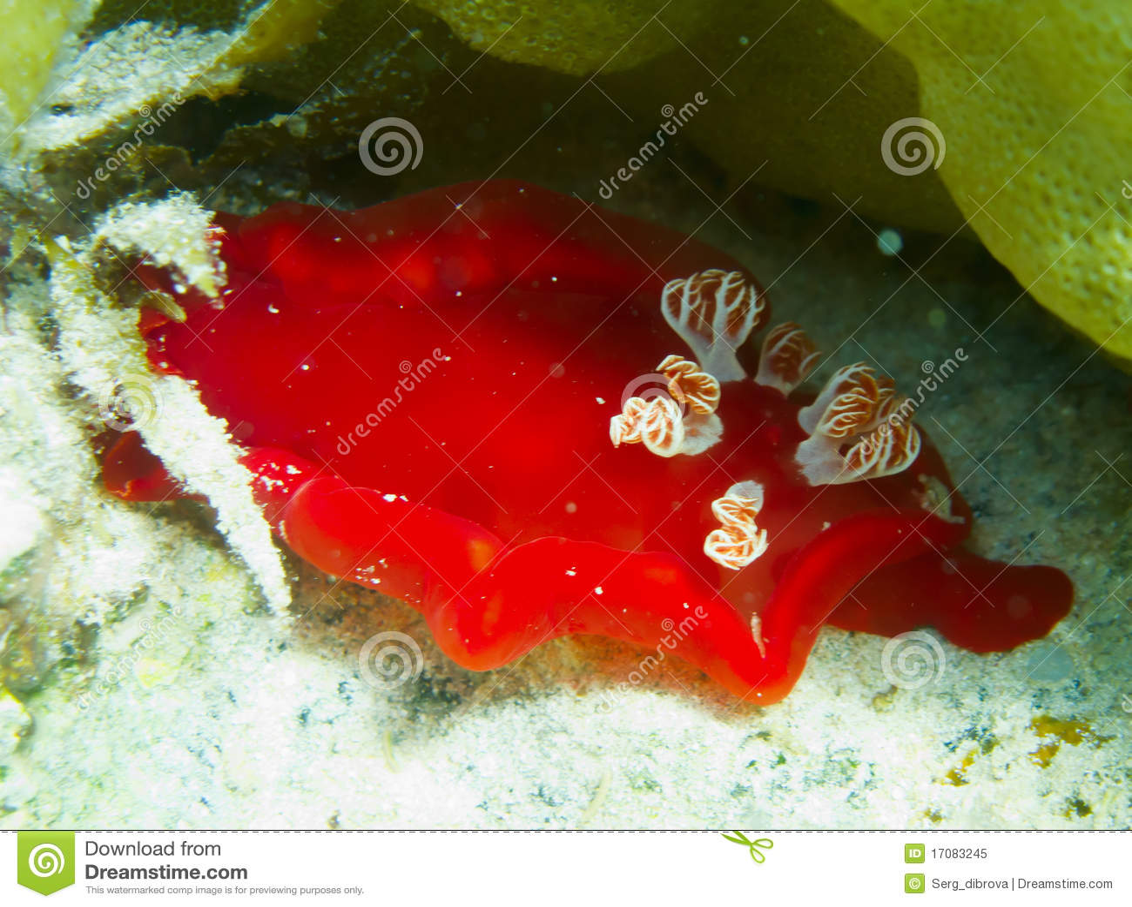 Spanisches Tänzer nudibranch