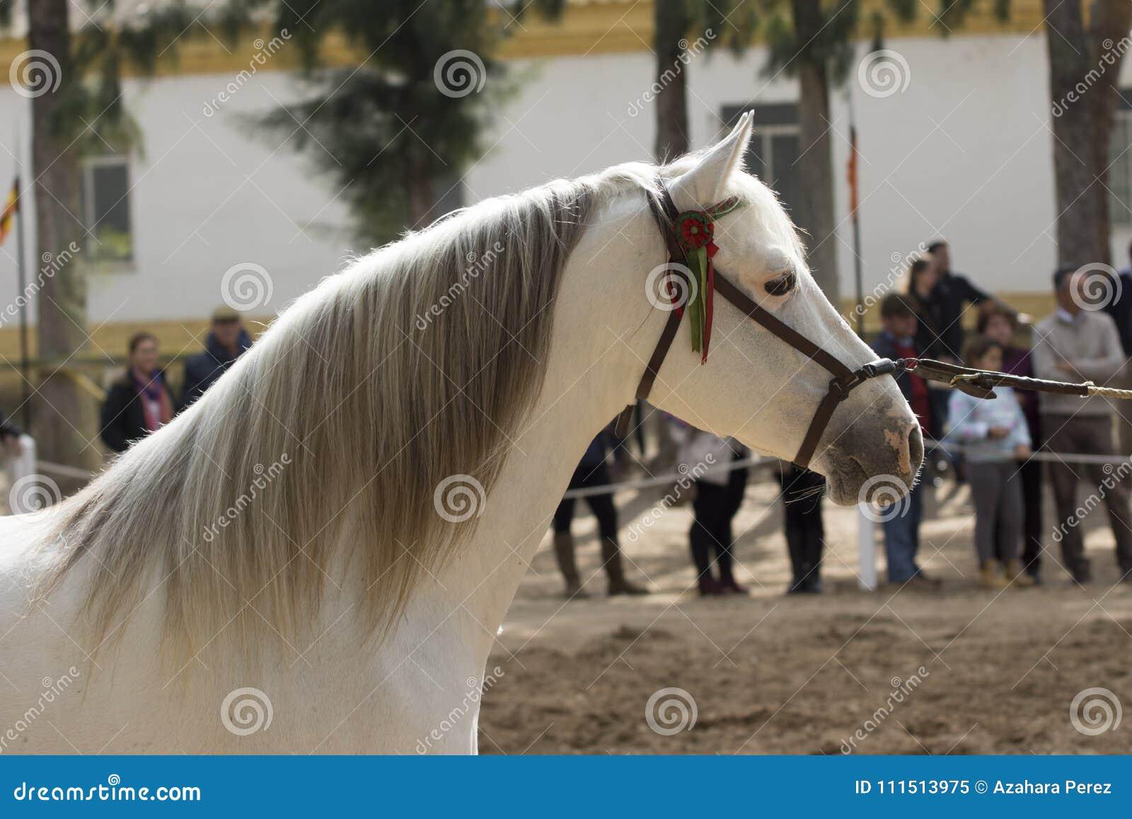 Beautiful Hispano Arabian Stallion In Jerez Editorial Image Image Of Equestrian Hispano 111513975