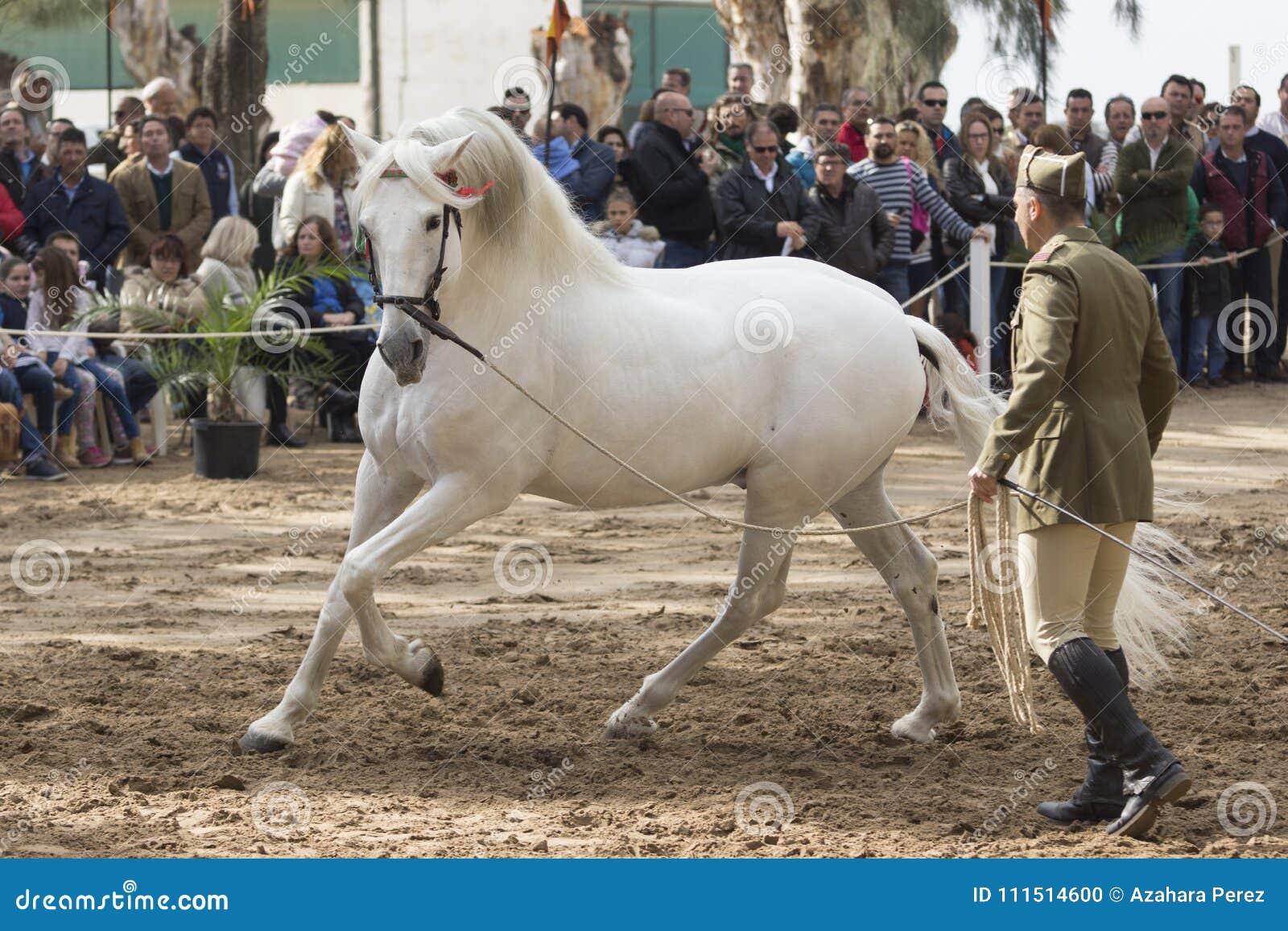 Beautiful Hispano Arabian Stallion In Jerez Editorial Image Image Of Spanisharab Beautiful 111514600