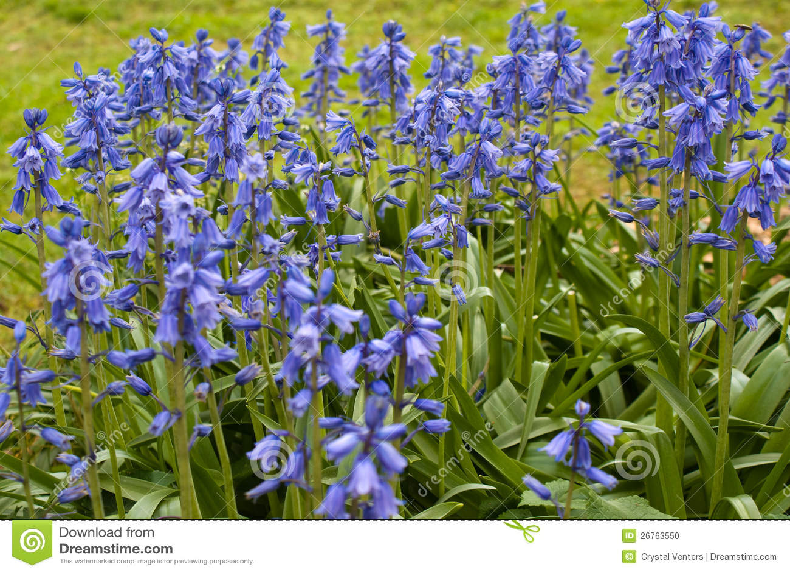 Spanish Bluebells Stock Image