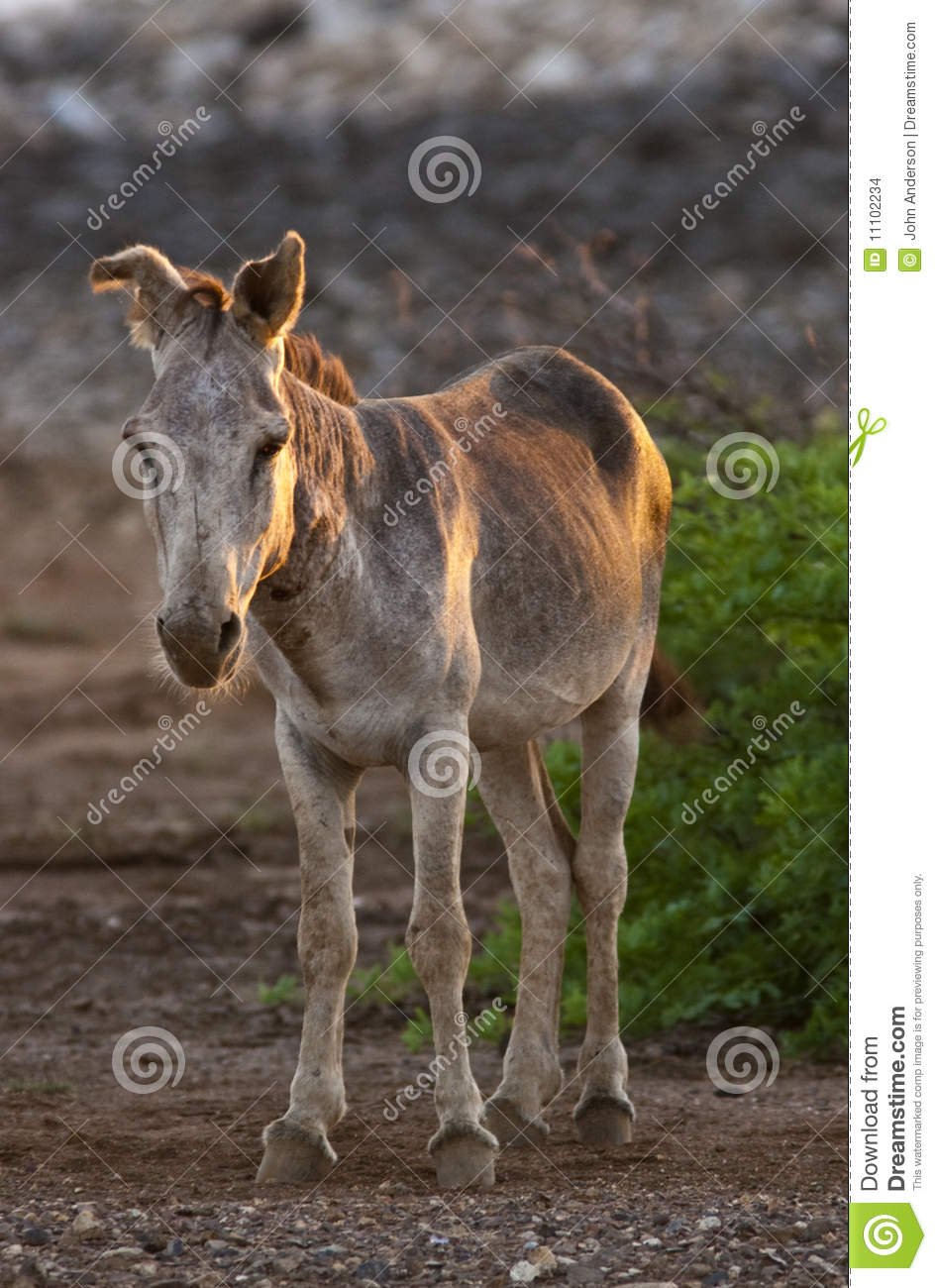 spanish donkey stock images