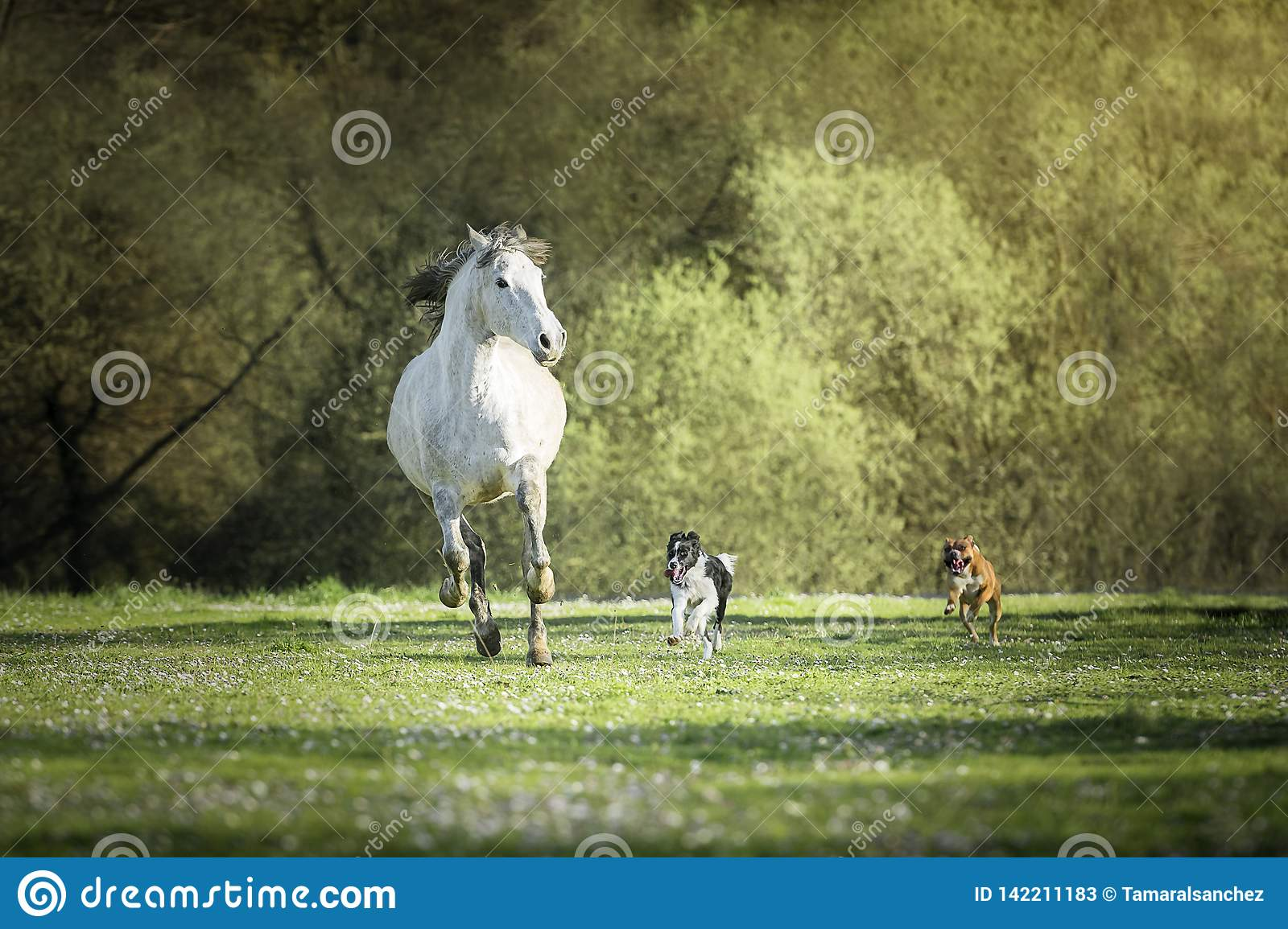Spanish horse, Border Collie and Boxer dogs playing together in a meadow