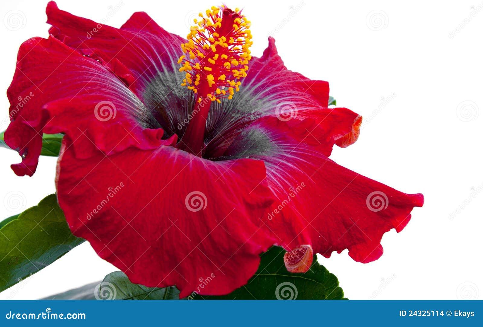 Spanish Lady Hibicus Flower Stock Image