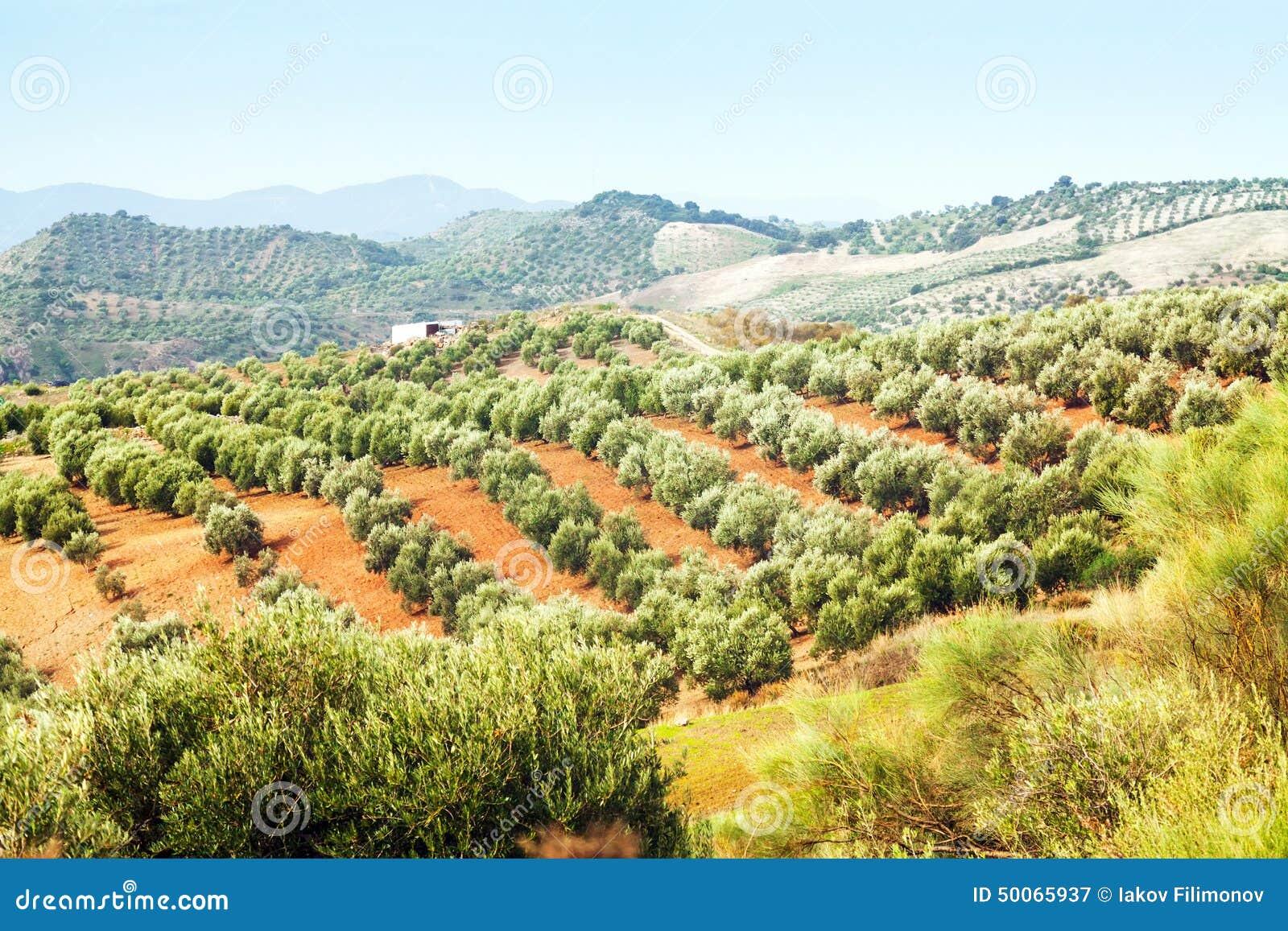 Spanish Landscape With Olives Plant Stock Image Image