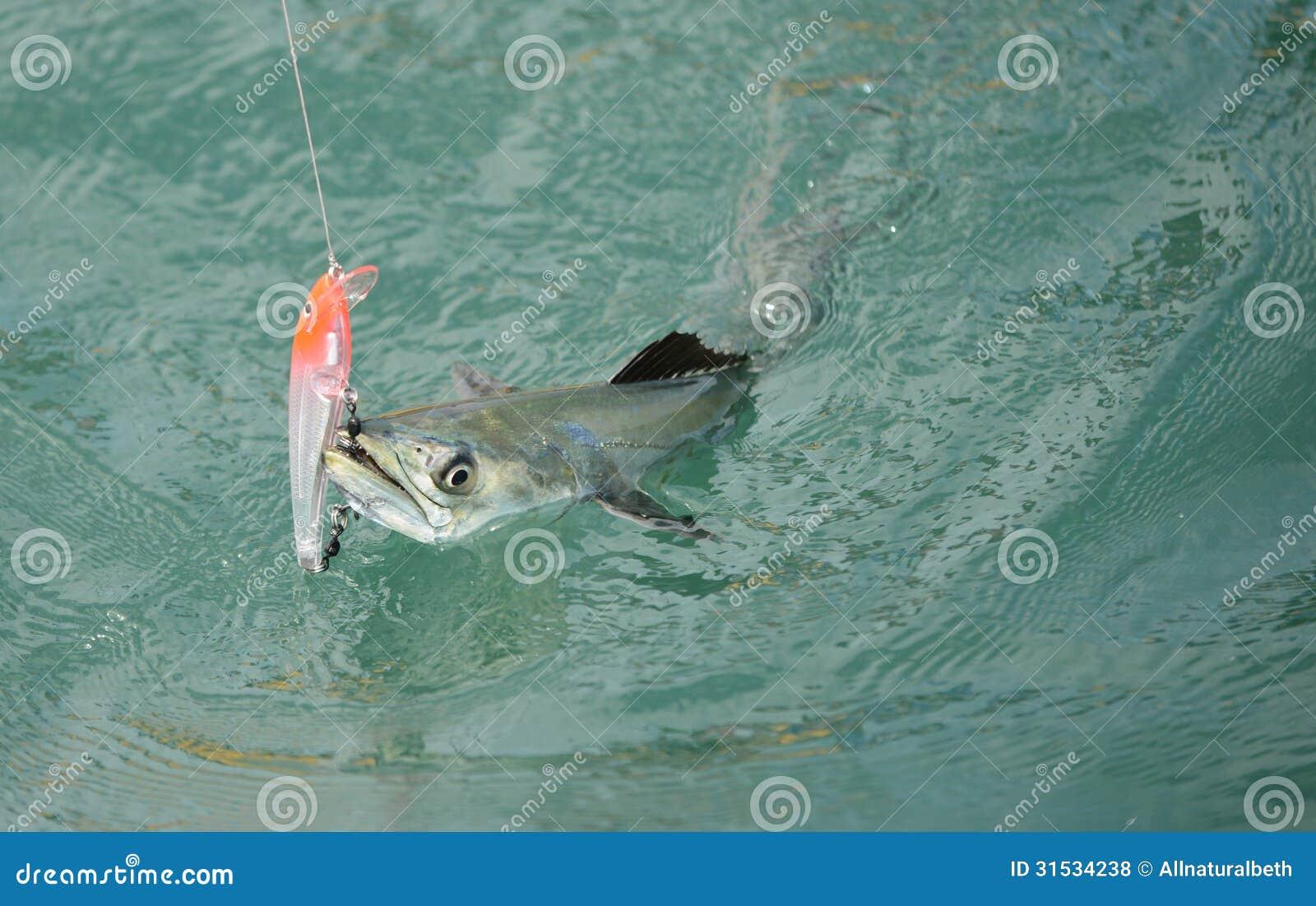 Spanish mackerel fish caught on hook and fishing line for Fishing rod in spanish