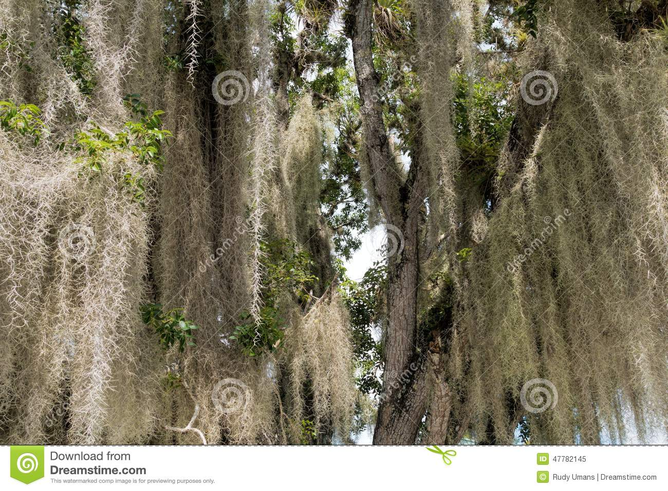 Spanish moss stock image. Image of green, florida, plant ...