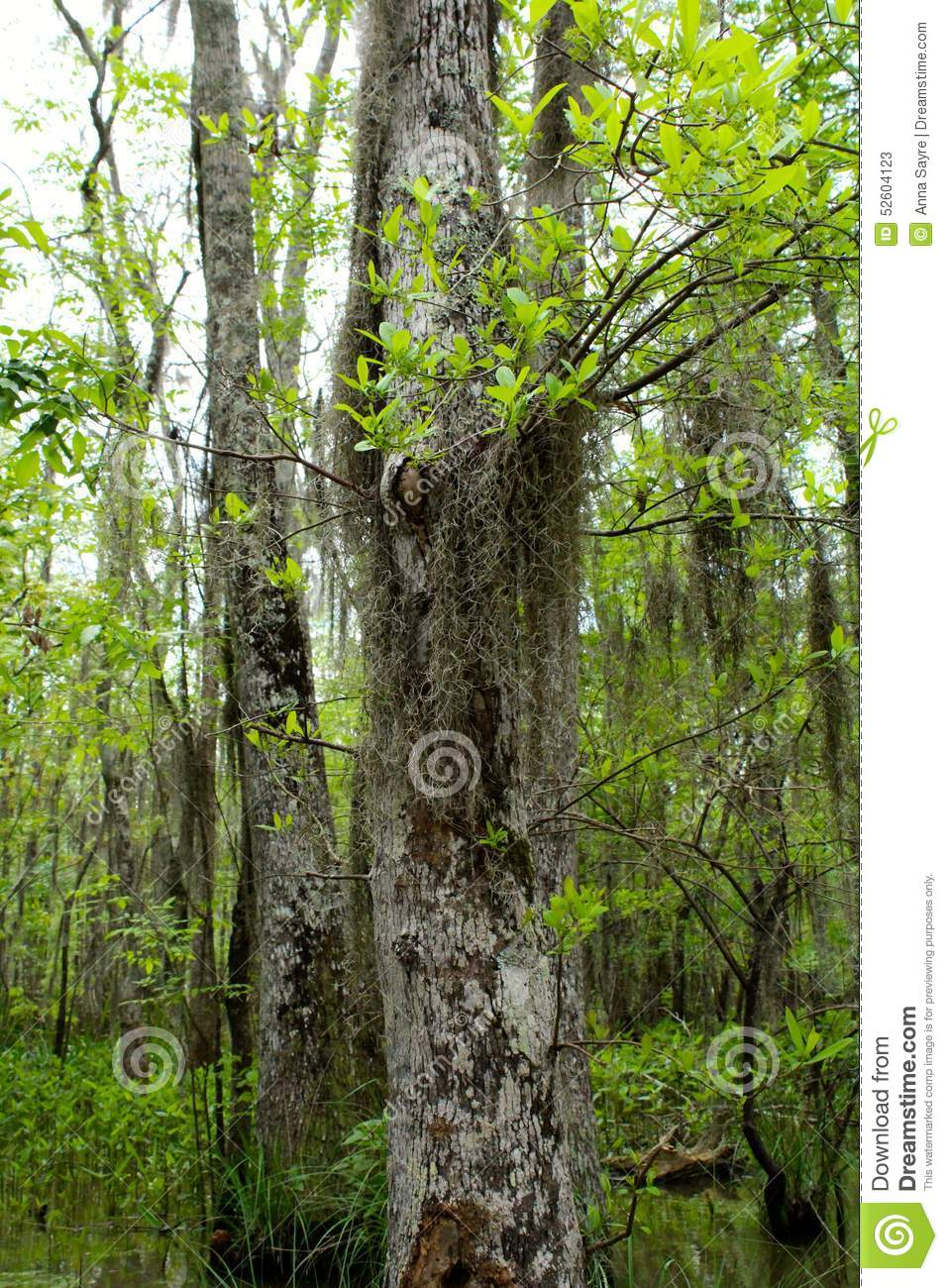 Spanish Moss Stock Photo - Image: 52604123