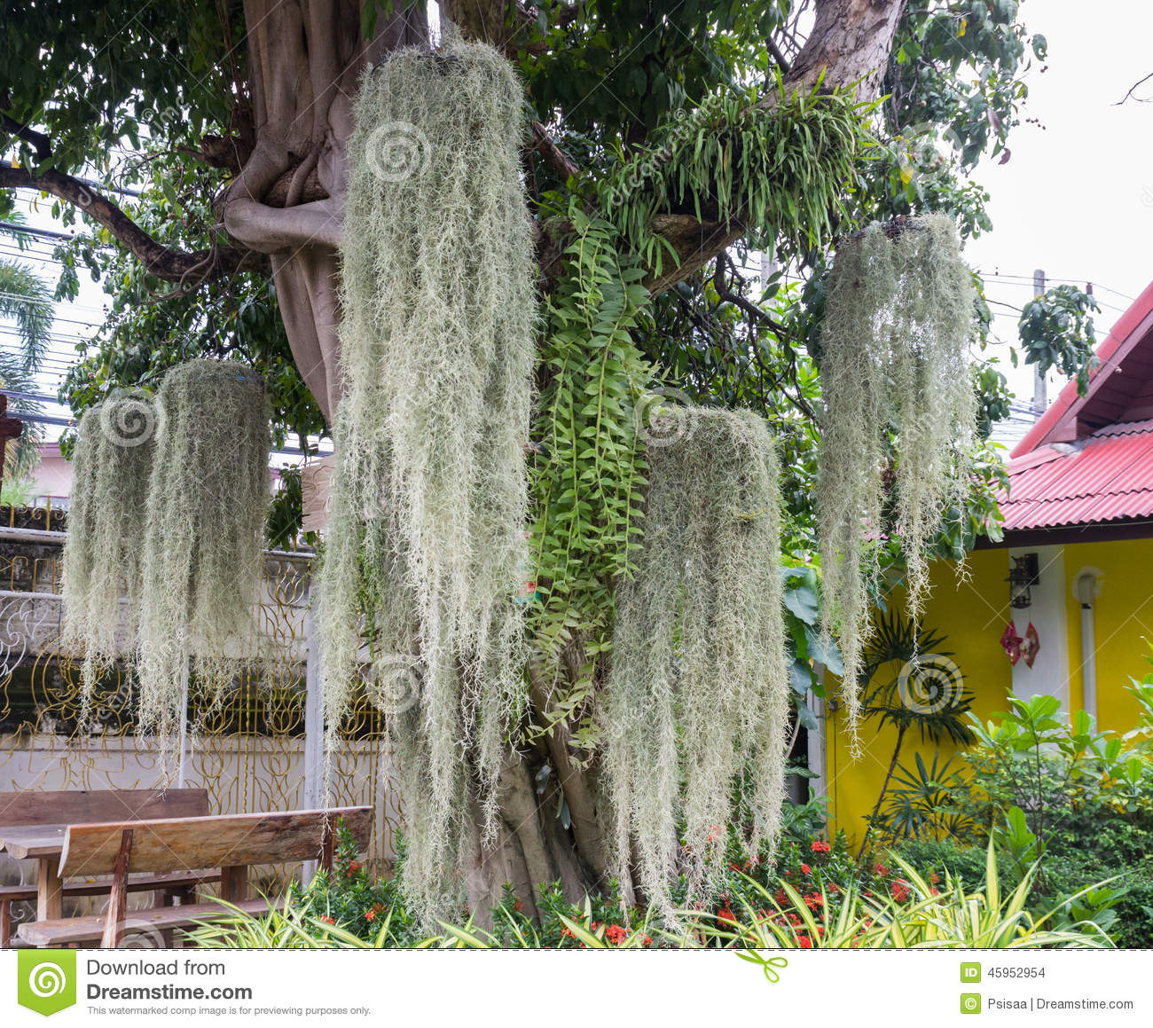 Spanish Moss Decorating On The Big Tree Stock Photo