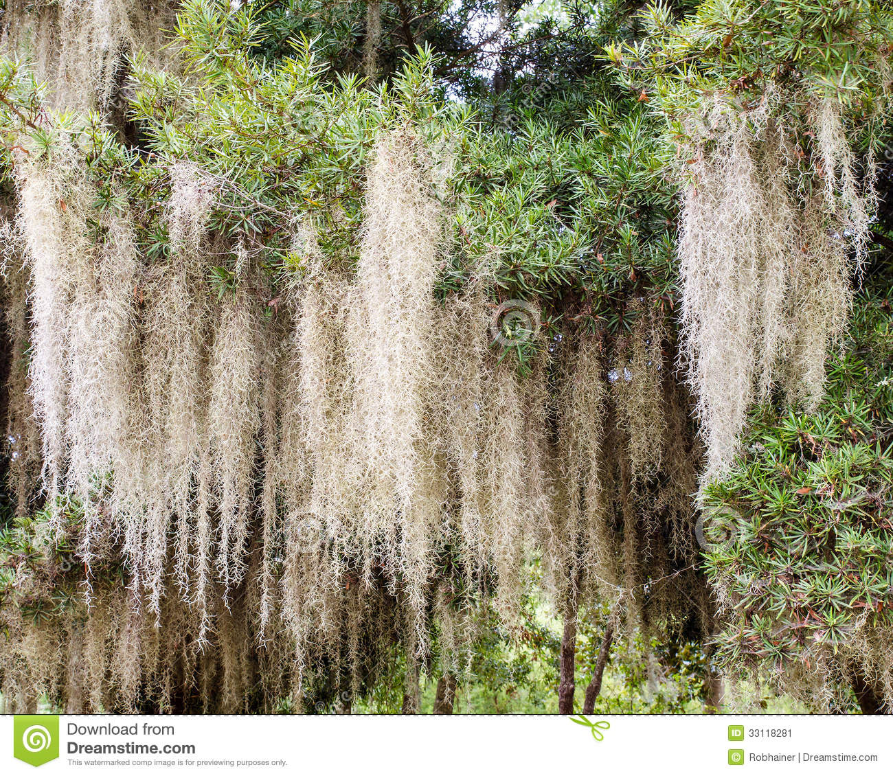 Spanish Moss Growing On Tree Stock Image - Image: 33118281