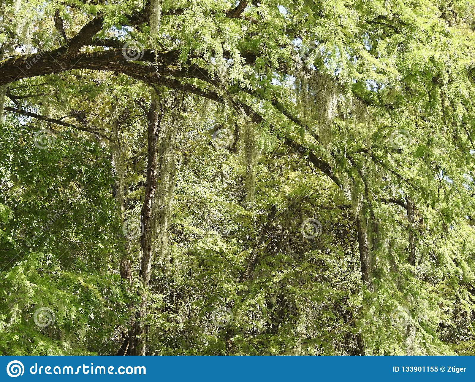 Spanish Moss Hanging from Bald Cypress Trees