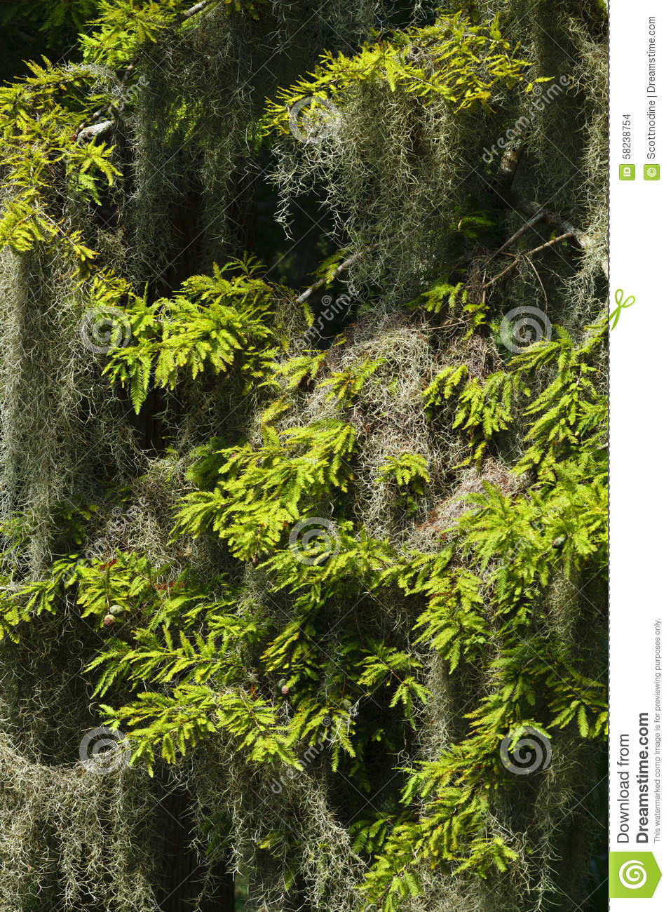 Spanish Moss Hanging In A Cypress Tree Close Up Stock ...