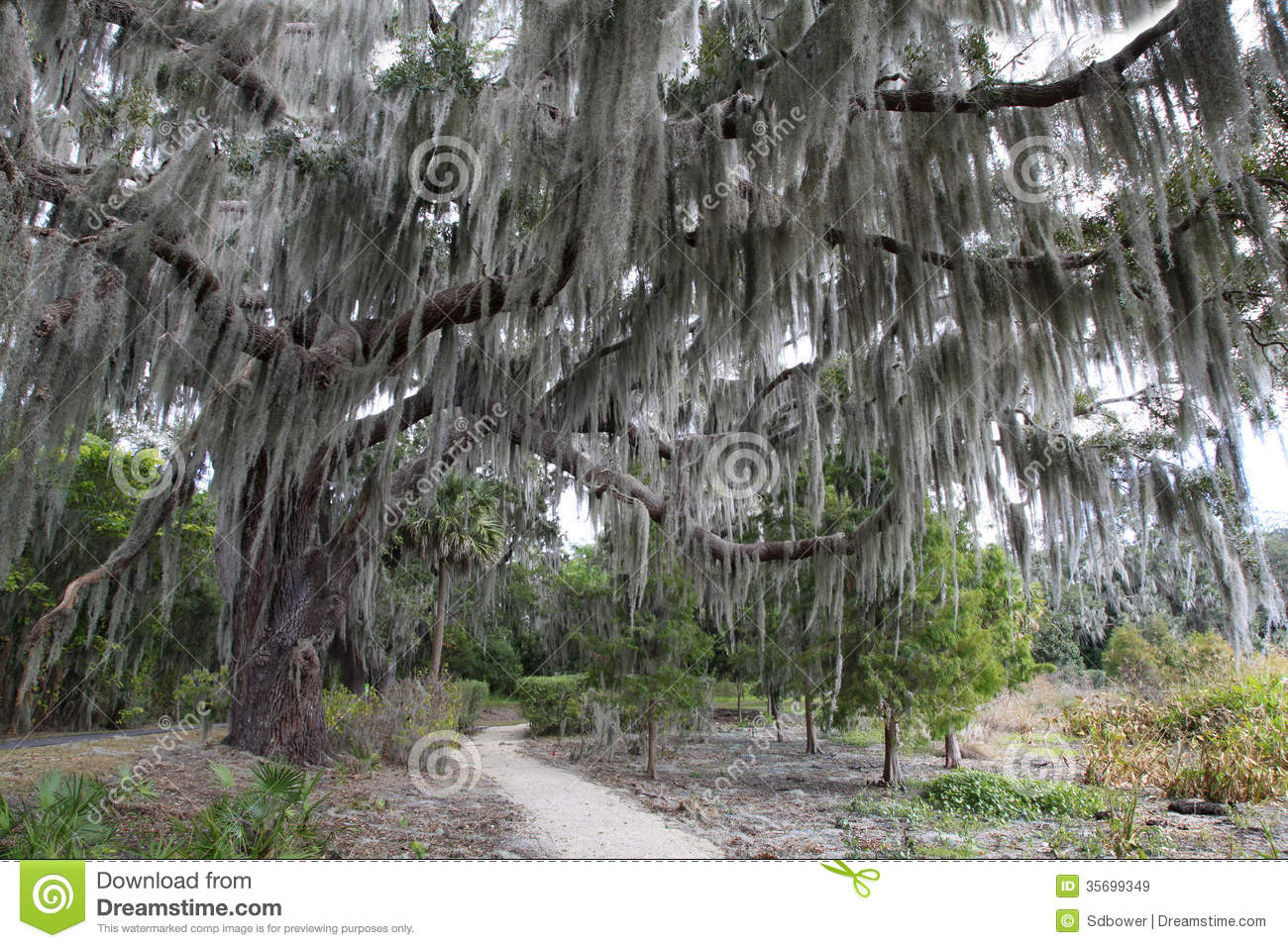 spanish moss hangs on the live oak by the trail royalty free stock