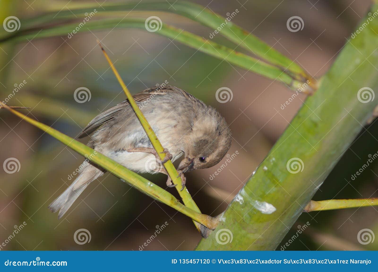 Spanish sparrow Passer hispaniolensis.