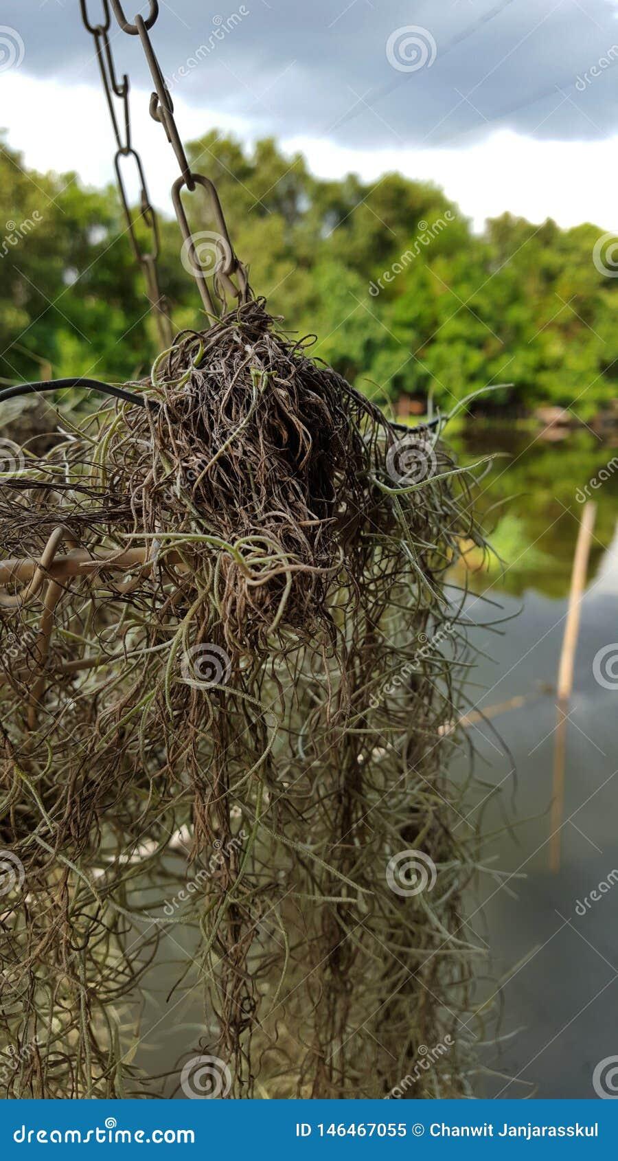 Spansk mossa för Closeup med kanalen och skog i bakgrunden