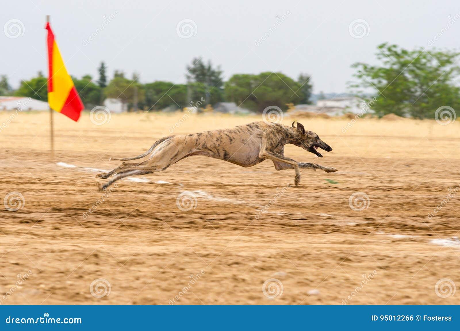 Spansk vinthund