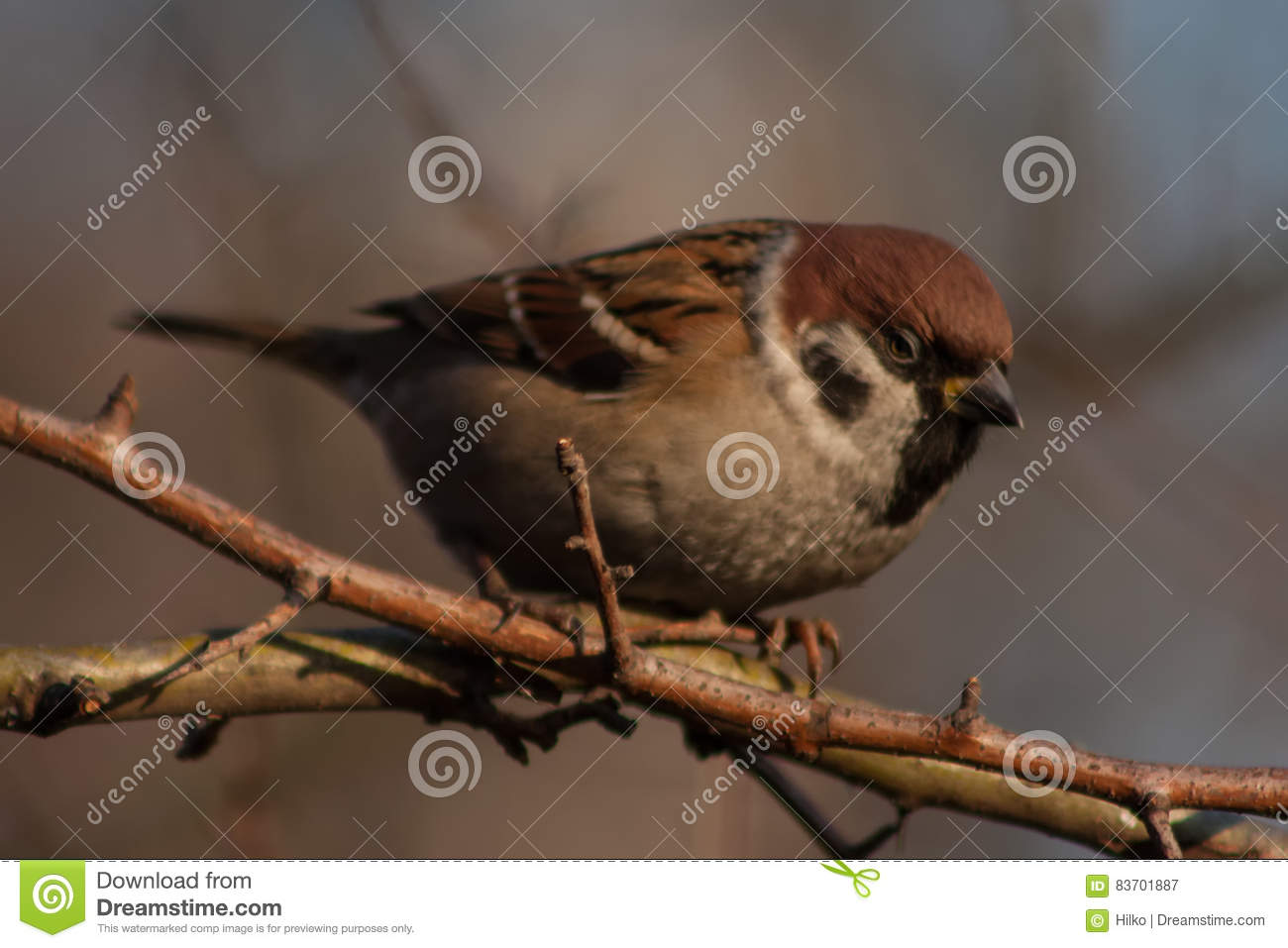Sparrow On A Branch. Stock Photo