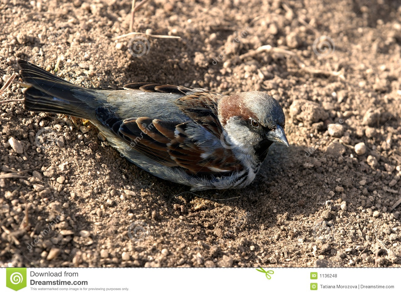 Sparrow in a dust