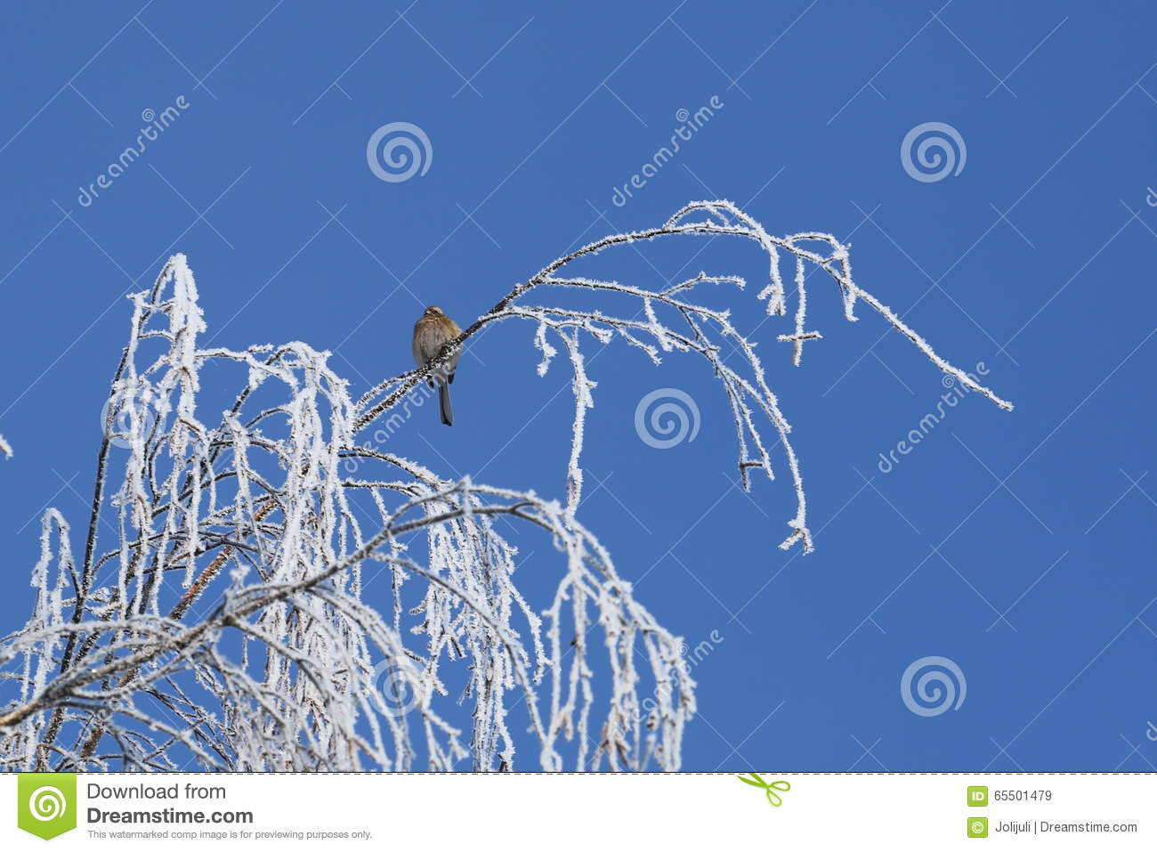 Sparrow on frosted birch