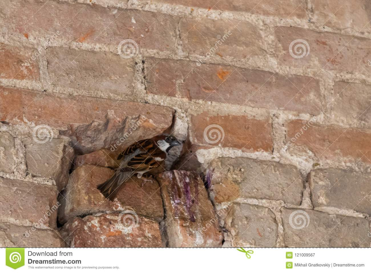 Sparrow in the hole. Nest in the wall