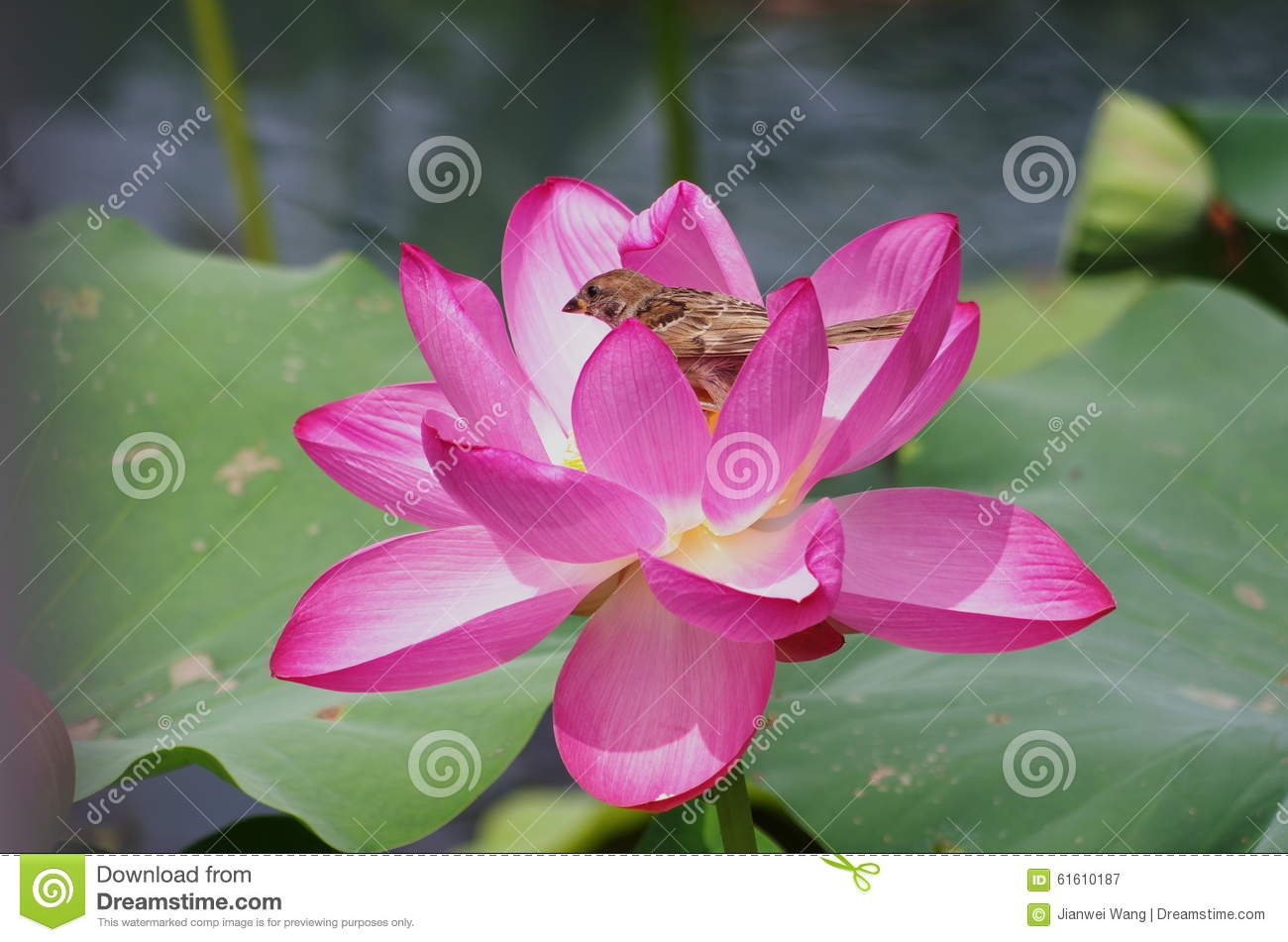 A Sparrow In Lotus Flower Stock Image Image Of Spring 61610187