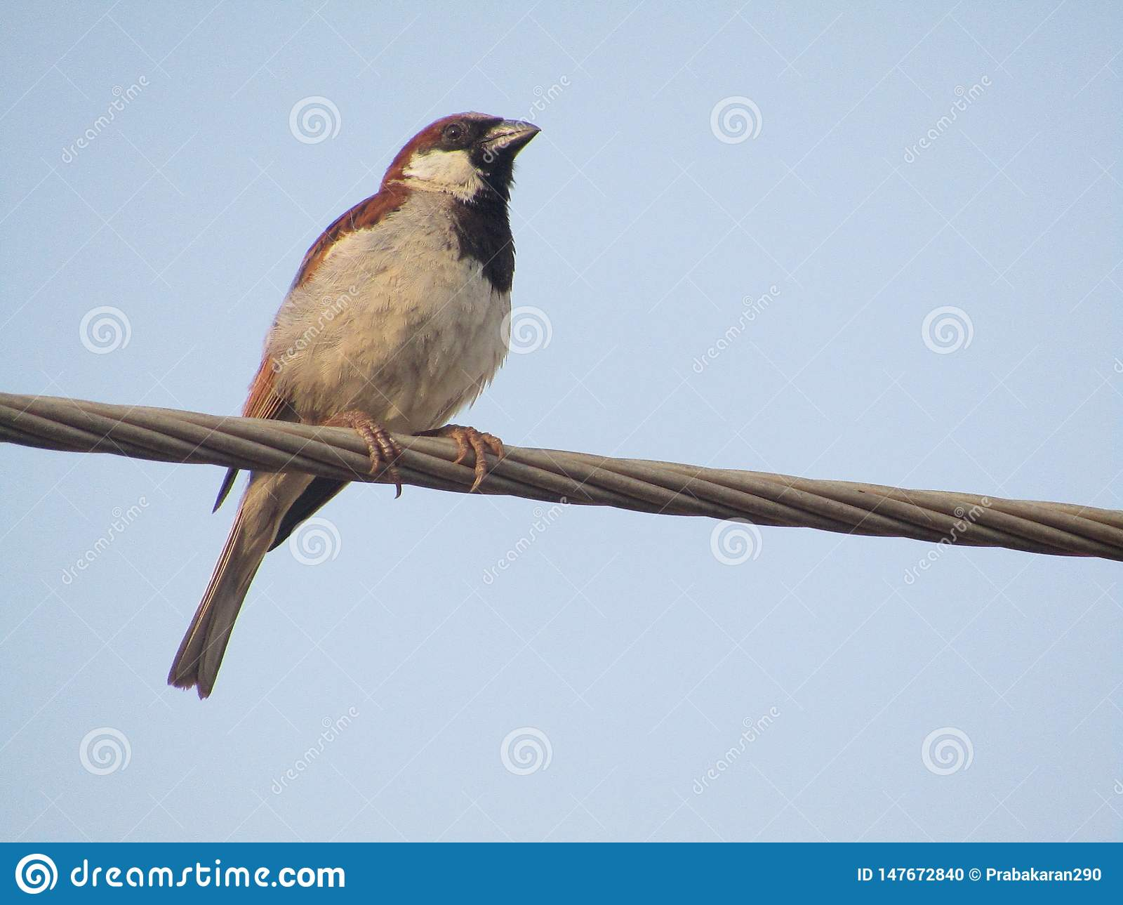 Sparrow standing on power line