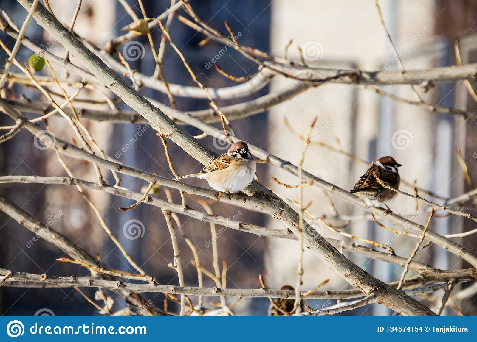 A sparrow on a tree in winter