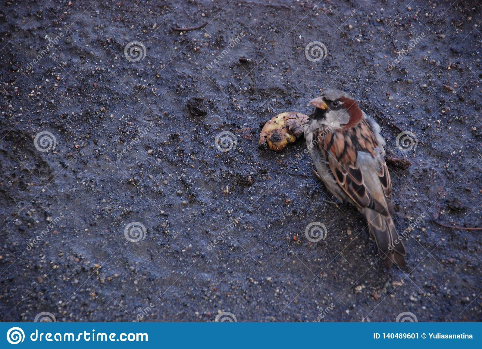 The sparrow on the wet ground eats rotten fruit in the autumn surrounded by seeds
