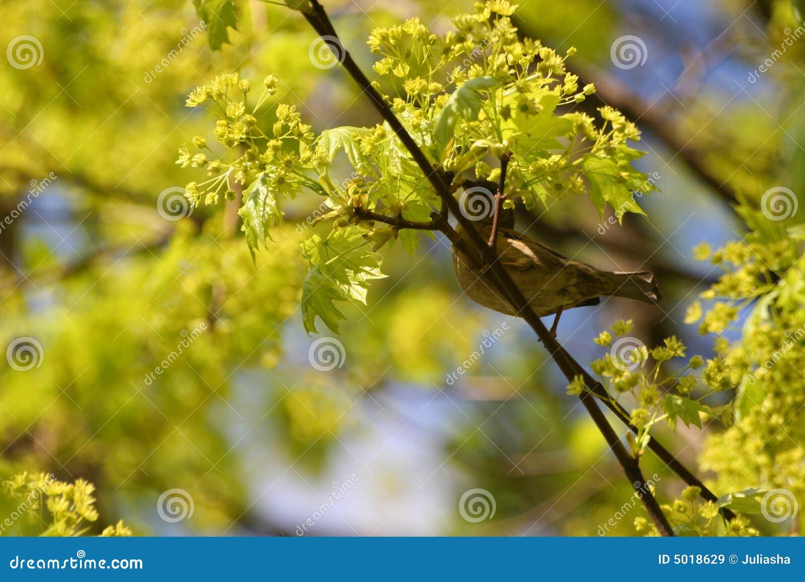 Sparrowfjäder