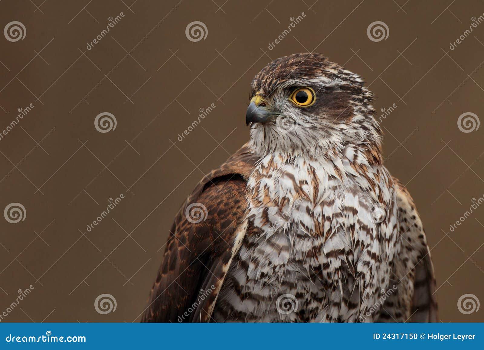 Sparrowhawk eurasien