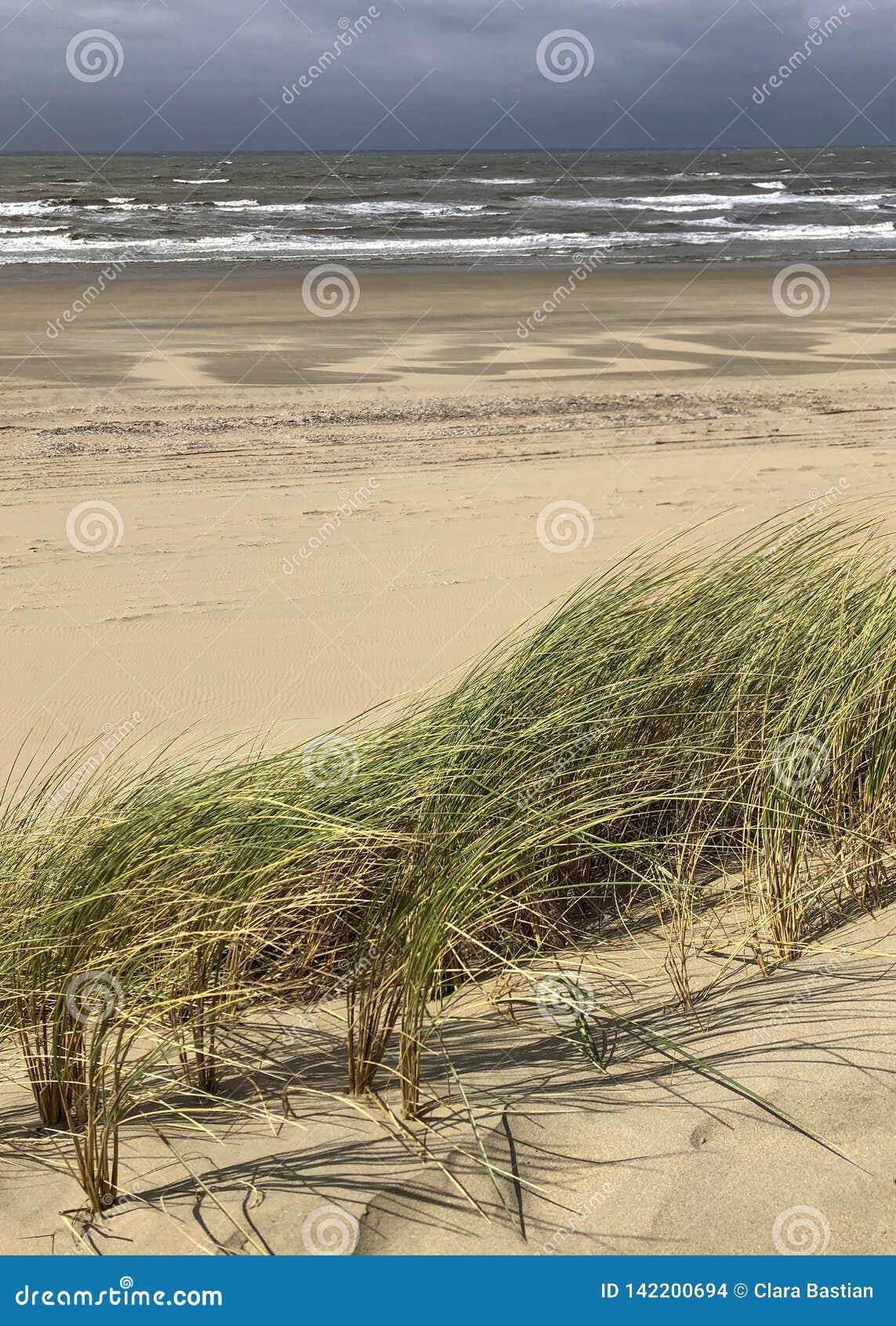 Sparto pungente nelle dune di sabbia a tira, cielo nuvoloso piovoso alla costa dei Paesi Bassi