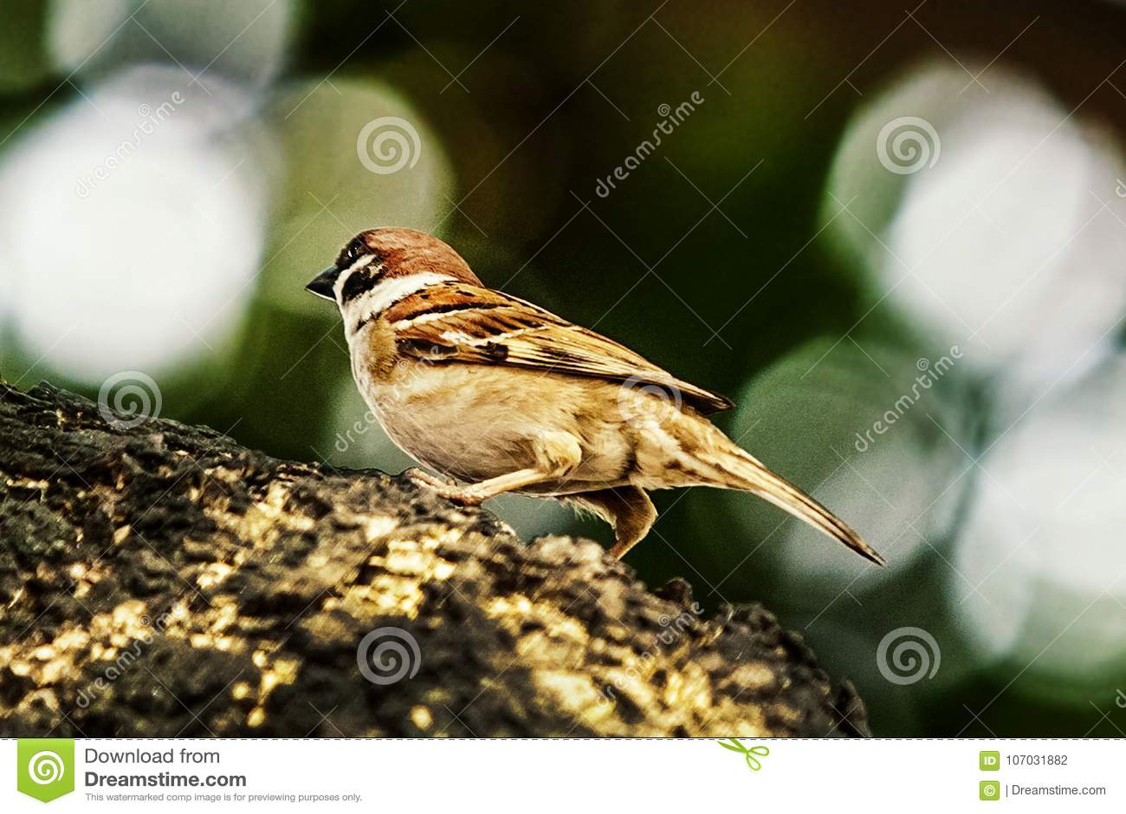 Sparv, när fåglarna går tillbaka Förbipasserandedomesticusuppsättningen frigör
