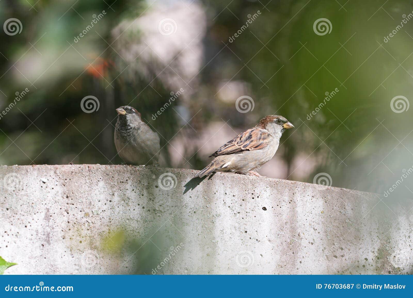 Sparv två på staketet