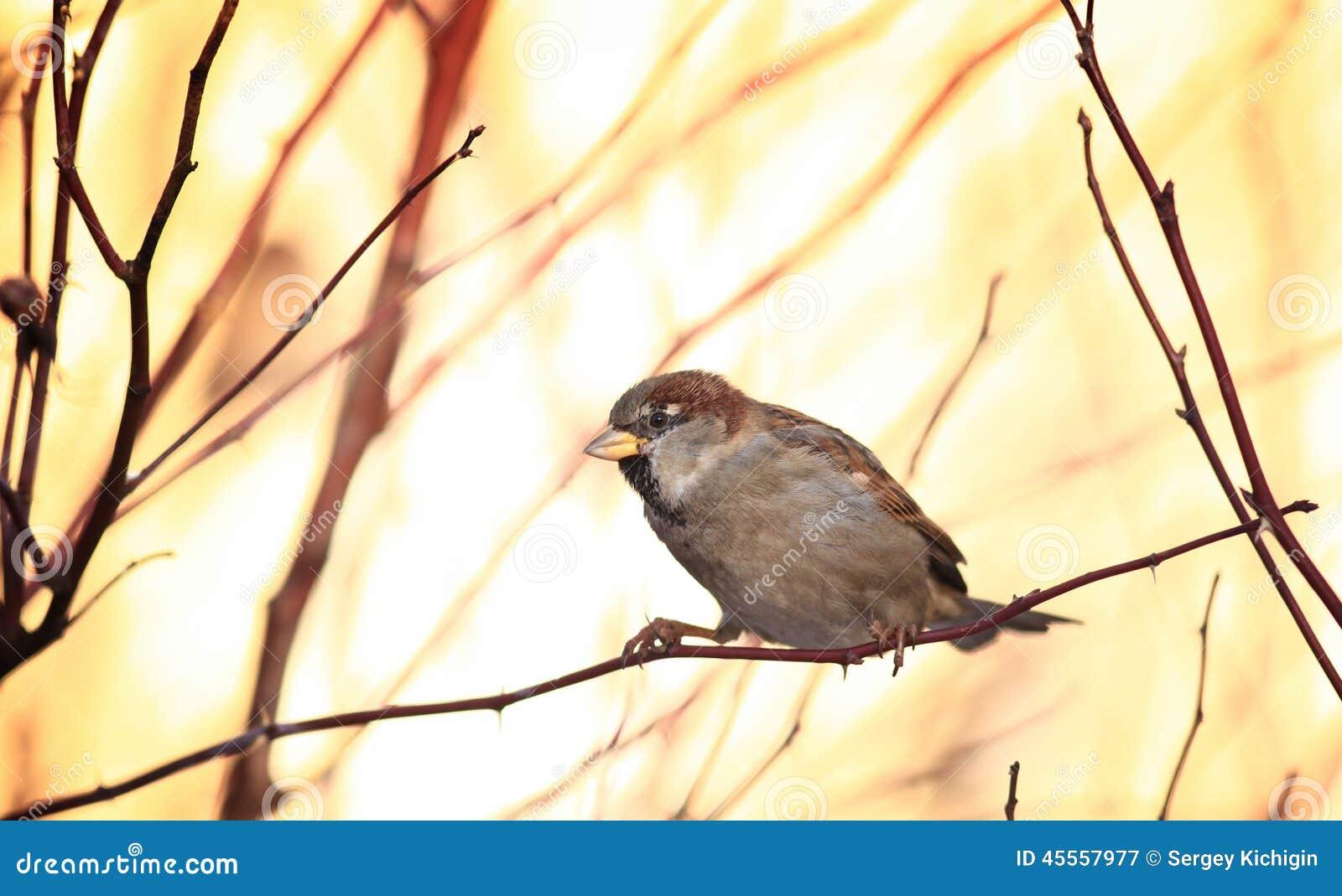 Sparvar på vinter förgrena sig fågeln