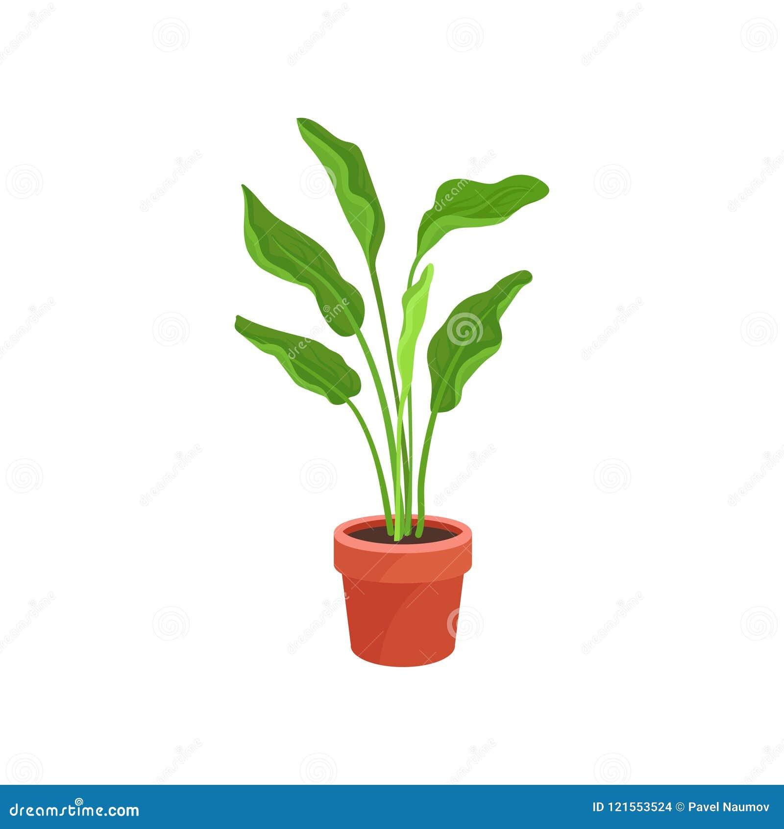 Spathiphyllum O Giglio Di Pace In Vaso Ceramico Marrone Pianta Da
