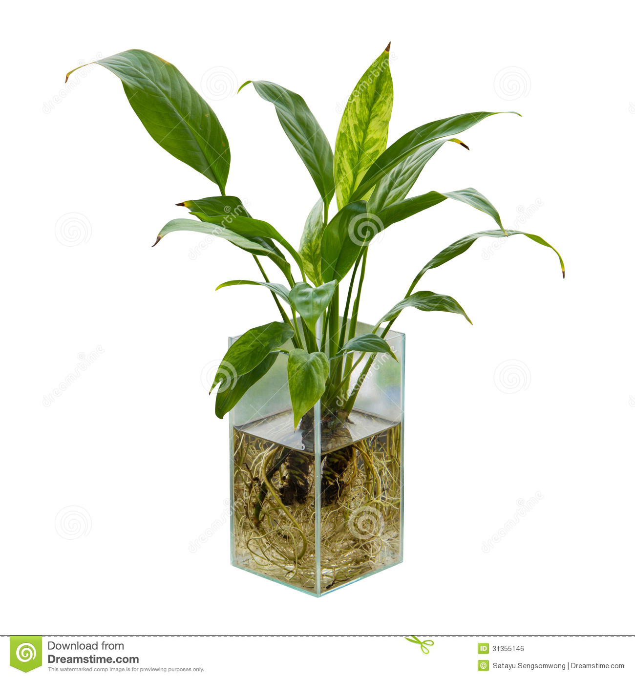 Spathiphyllum Or Peace Lily Stock Photo Image 31355146