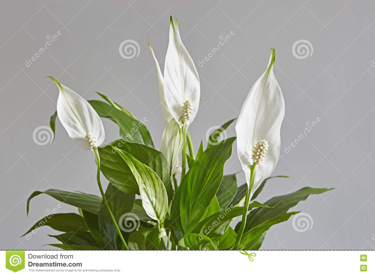 Spathiphyllumpeace lily stock photo image of color 80021998 download comp izmirmasajfo