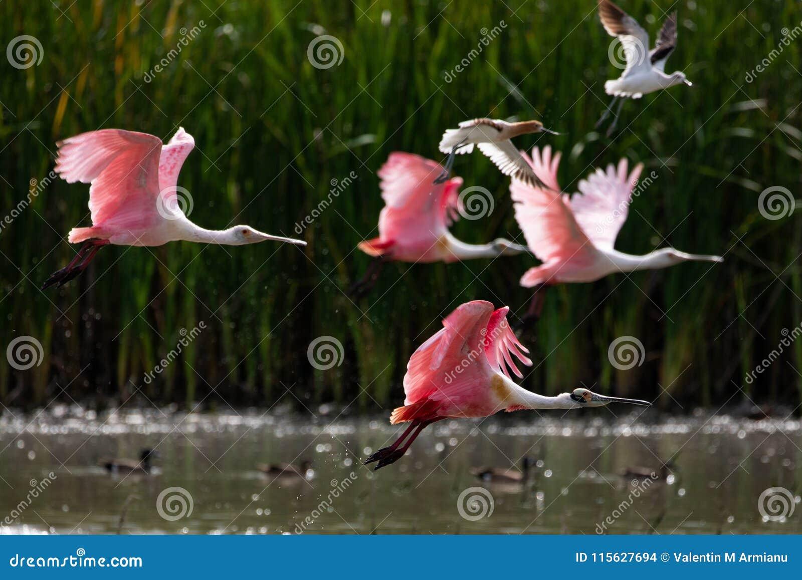 Spatule rose en vol