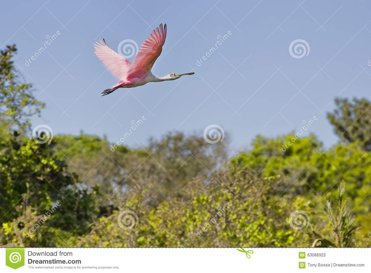 Download Spatule rose en vol image stock. Image du plumage, rose - 63086923