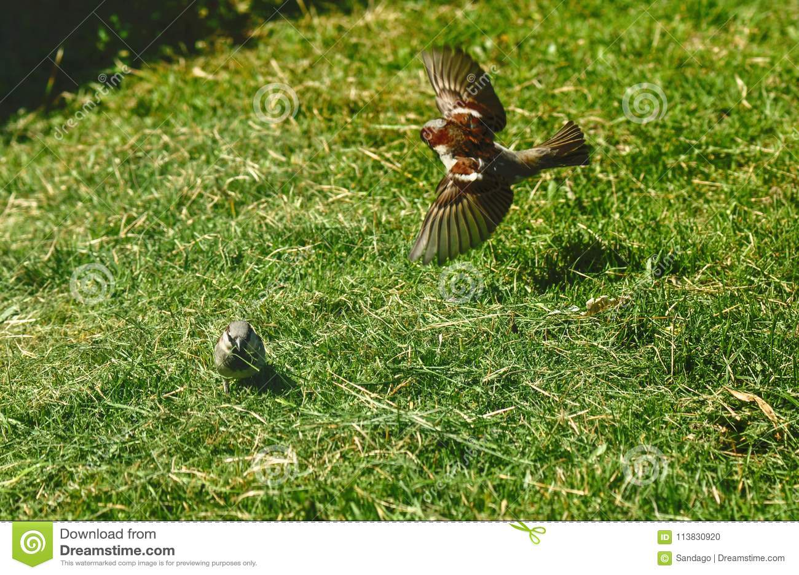Spatz, der Gras für das Nest sammelt