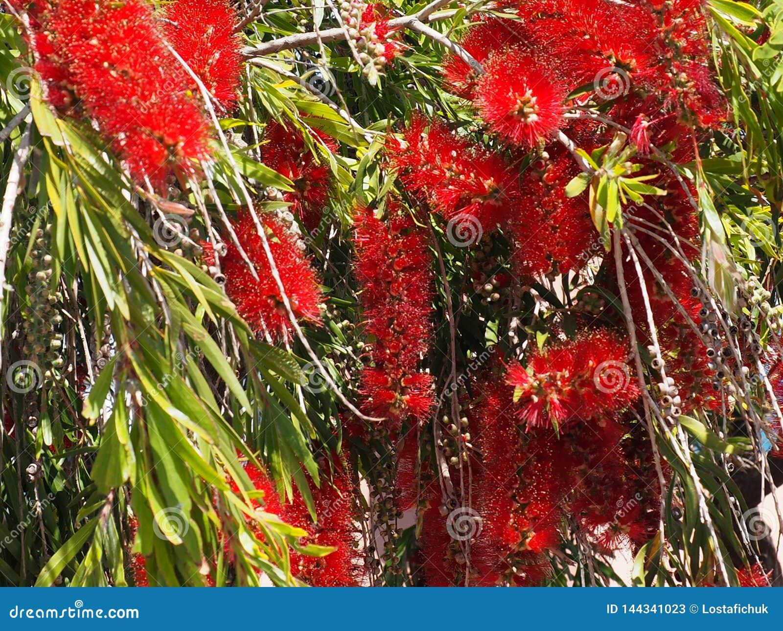 Spazzola di bottiglia o Callistemon Citrinus in fioritura in Creta